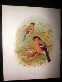 Butler, Frohawk & Gronvold 1908 Antique Bird Print. Bullfinch 72